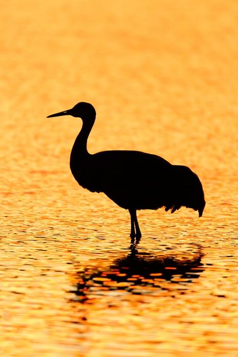 sandhill-crane-silh-_09u1515-bosque-del-apache-nwr-san-antonio-nm