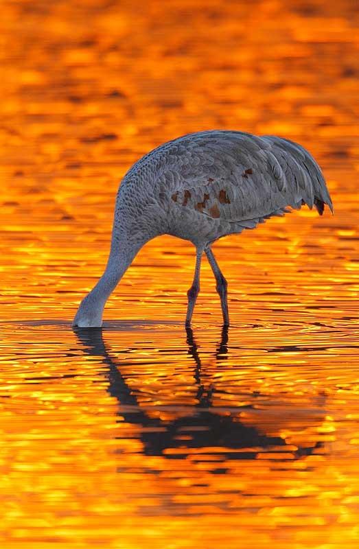 sandhill-crane-silhouette-bird-lightened-nik-_y9c0138-bosque-del-apache-nwr-san-antonio-nm
