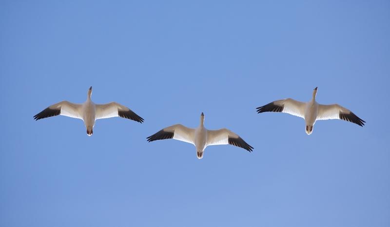 snow-geese-3-in-flight-from-below-_a1c8900-bosque-del-apache-nwr-san-antonio-nm