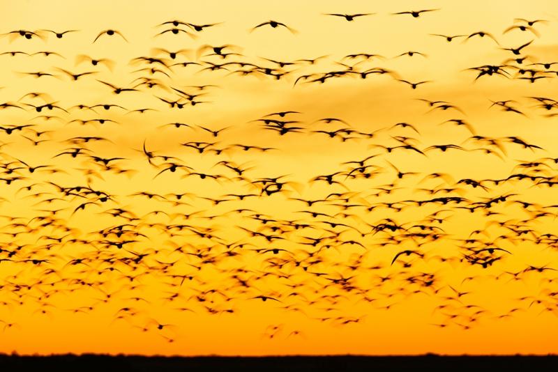 snow-geese-pre-dawn-fly-in-clear-sky-_09u0884-bosque-del-apache-nwr-san-antonio-nm