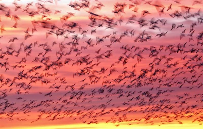 snow-geese-sunrise-blur-_w3c5052-bosque-del-apache-nwr-san-antonio-nm