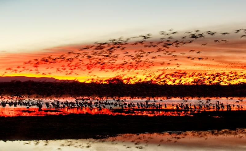 snow-geese-sunrise-fly-in-1-15-sec-_09u0022-bosque-del-apache-nwr-san-antonio-nm