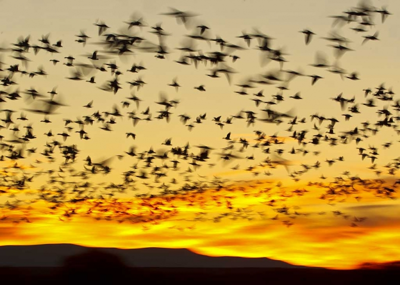 snow-geese-sunrise-fly-out-_w3c9819-bosque-del-apache-nwr-san-antonio-nm