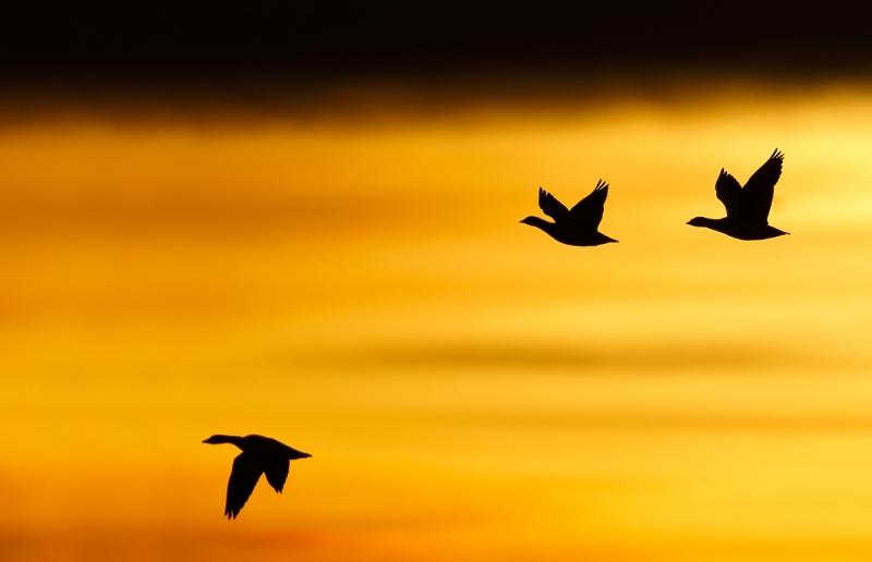 snow-geese-sunrise-silh-_09u6251-bosque-del-apache-nwr-san-antonio-nm