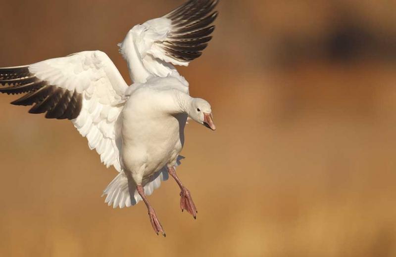 snow-goose-braking-hard-_y9c0795-bosque-del-apache-nwr-san-antonio-nm