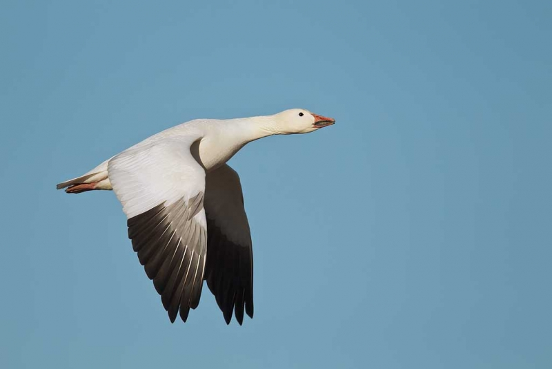snow-goose-downstroke-flight-showing-primaries-_y9c0489-bosque-del-apache-nwr-san-antonio-nm