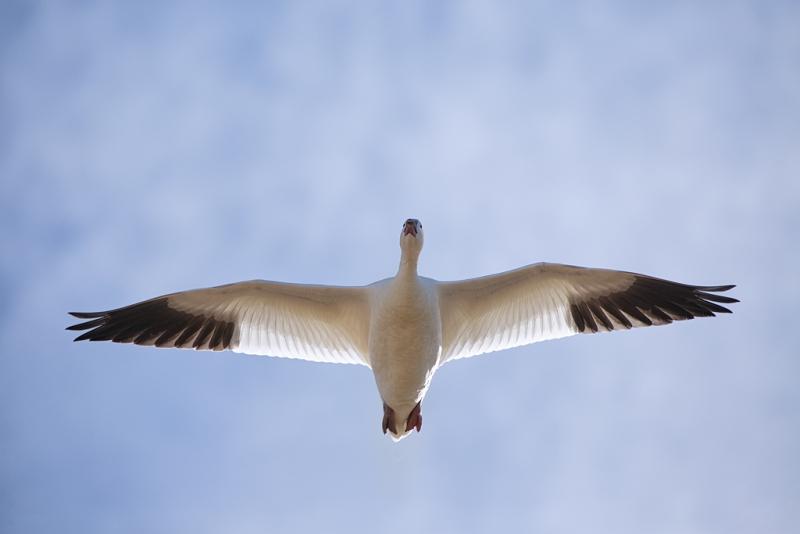 snow-goose-flight-from-below-backlit-_a1c8891-bosque-del-apache-nwr-san-antonio-nm