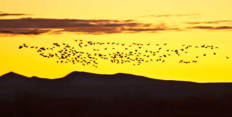 snow-goose-flock-above-ridge-at-sunrise-_w3c9801-bosque-del-apache-nwr-san-antonio-nm