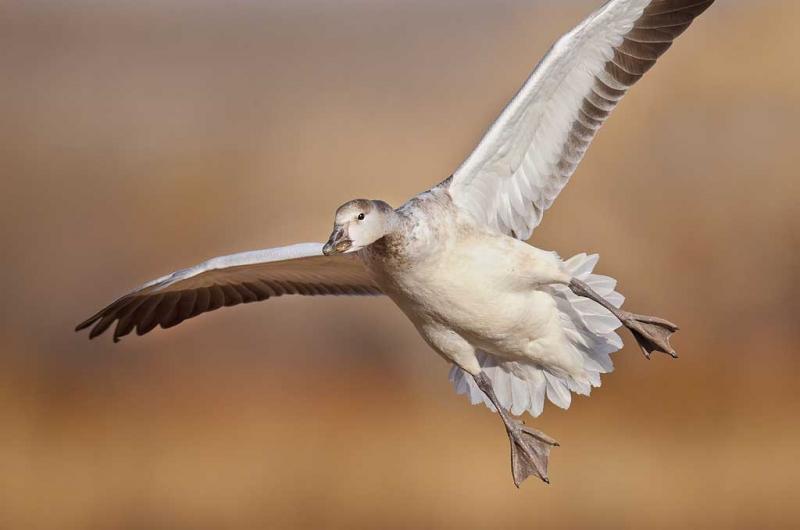snow-goose-immature-landing-_y9c8222-bosque-del-apache-nwr-san-antonio-nm