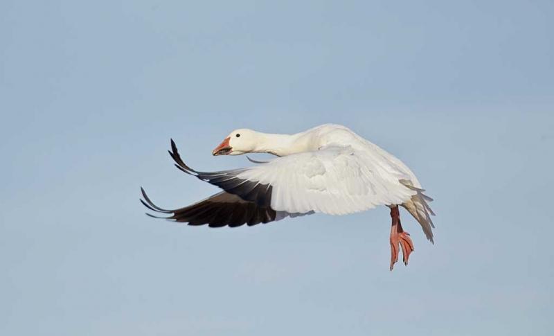 snow-goose-wings-forward-landing-flight-_w3c5127-bosque-del-apache-nwr-san-antonio-nm
