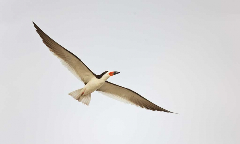 black-skimmer-in-flight-white-sky-_a1c7522-nickerson-beach-long-island-ny