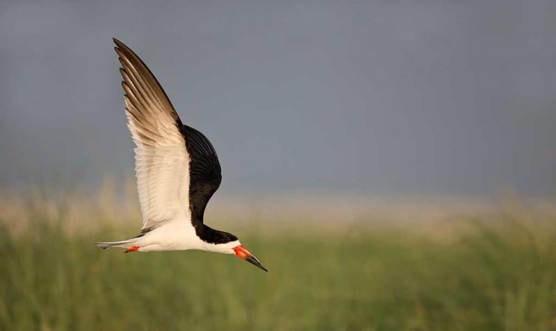 black-skimmer-over-beach-grasses-_a1c7605-nickerson-beach-long-island-ny_1