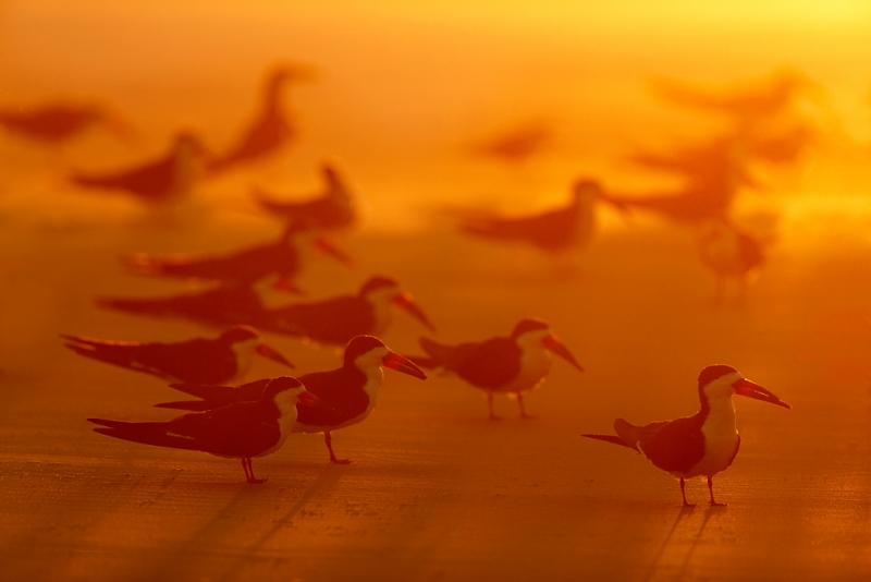 black-skimmers-at-sunrise-_q8r7321-nickerson-beach-park-lido-beach-ny