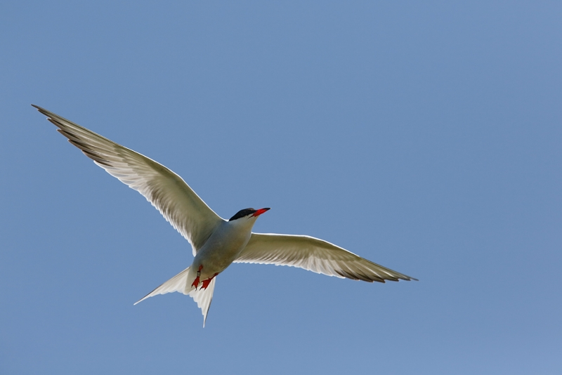 common-tern-banded-in-flight-_a1c5559-great-gull-island-project-new-york