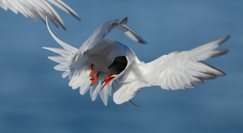 common-tern-pissed-off-pan0-crop-_a1c6878-great-gull-island-project-new-york