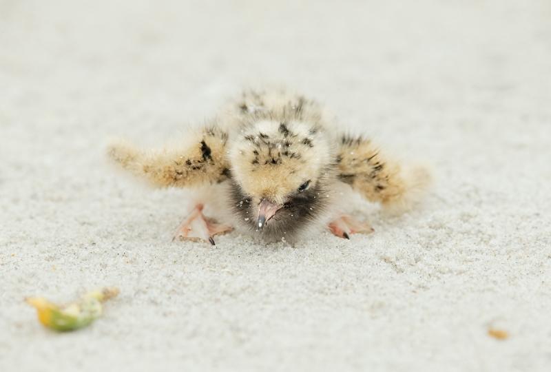 common-tern-tiny-chick-_q8r3800-nickerson-beach-long-island-ny