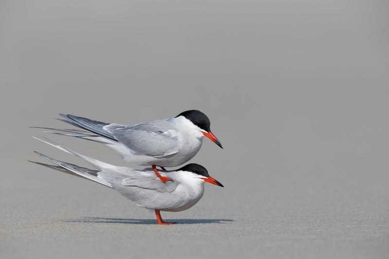 common-terns-pre-copulatory-stand-_q8r7250-nickerson-beach-park-lido-beach-ny