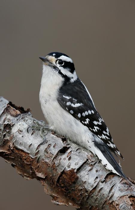 downy-woodpecker-female-on-branch-_q8r0373-elizabeth-a