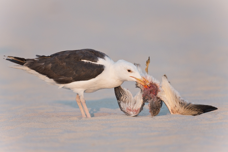great-black-backed-gull-eating-juvenile-skimmer-_q8r3069-nickerson-beach-long-island-ny
