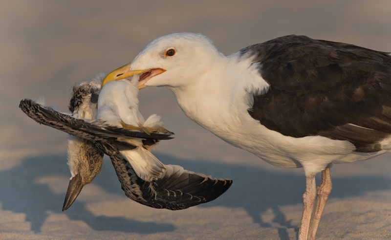 great-black-backed-gull-with-freshly-killed-juvenile-black-skimmer-_q8r2985-nickerson-beach-long-island-ny