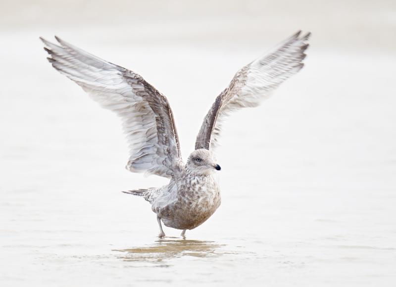 herring-gull-bpn-flapping-after-bath-_y9c2931-nickerson-beach-long-island-ny-copy