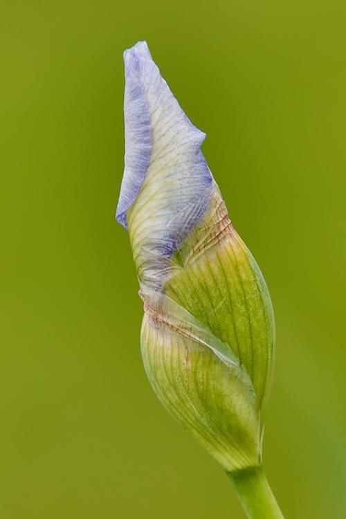 iris-bud-_a1c2181-presby-gardens-upper-montclair-nj
