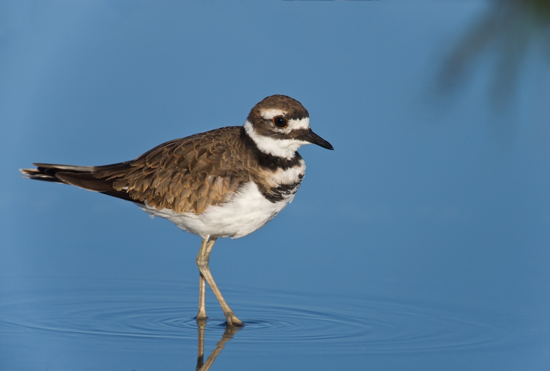 killdeer-worn-juvenal-plumage-_q8r1242-hecksher-state-park-long-island-ny