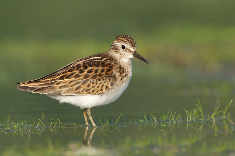 kitty-kono-larger-nik-juvenile-least-sandpiper