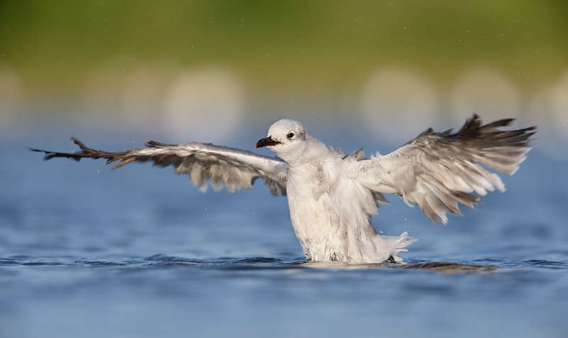 laughing-bull-flapping-after-bath-_q8r0383-east-pond-jamaica-bay-wildlife-refuge-queens-ny