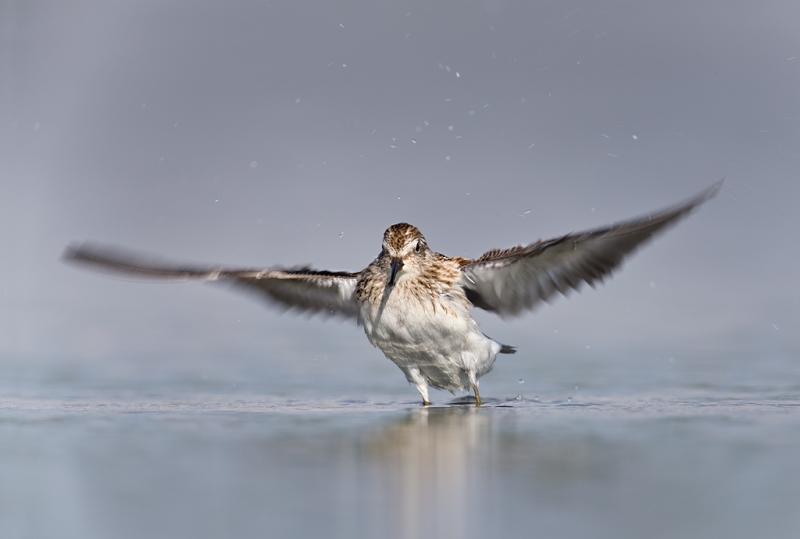 least-sandpiper-juvenile-flapping-after-bath-flat-wings-_q8r0111-east-pond-jamaica-bay-wildlife-refuge-queens-ny