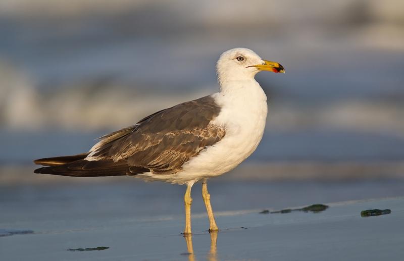 lesser-black-backed-gull-sub-adult-_w3c4249-nickerson-beach-lido-beach-li-ny
