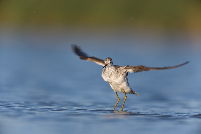 lesser-yellowlegs-flapping-after-bath-_q8r0419-east-pond-jamaica-bay-wildlife-refuge-queens-ny