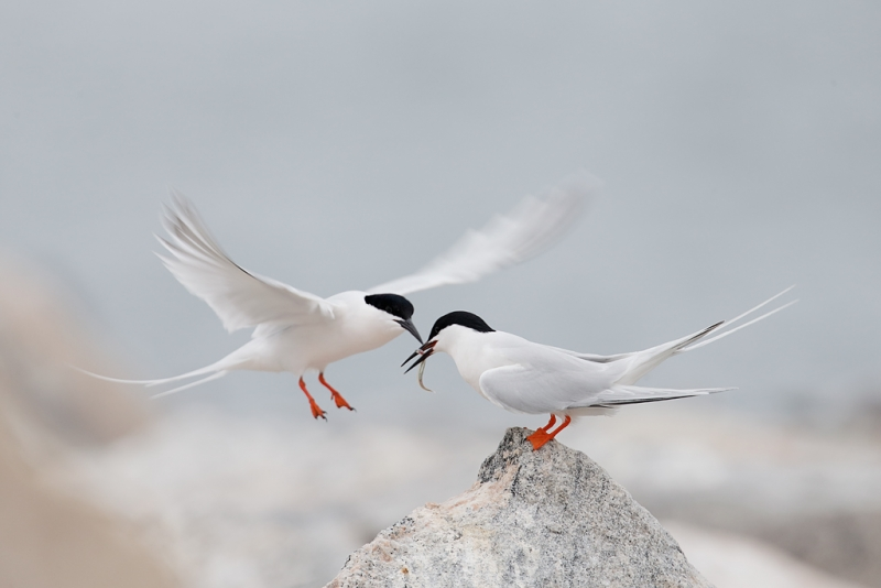roseate-tern-courship-feeding-atlantic-silversides-or-spearing-_q8r0439-great-gull-island-project-new-york