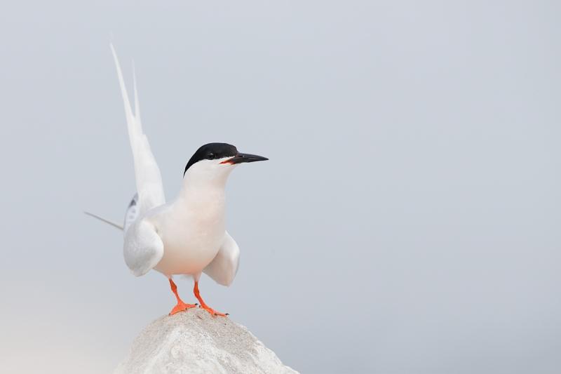 roseate-tern-displaying-_q8r0139-great-gull-island-project-new-york