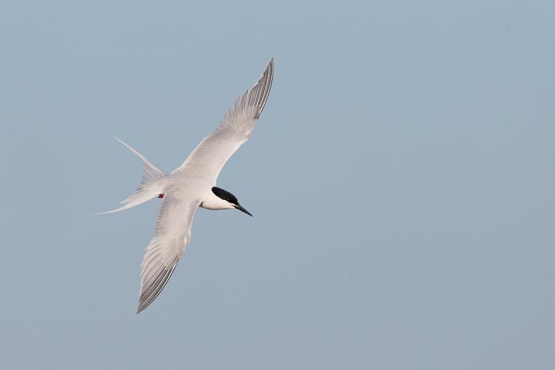 roseate-tern-flight-dorsal-view-_q8r9187-great-gull-island-project-new-york