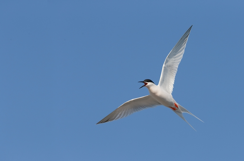 roseate-tern-in-flight-_q8r8774-great-gull-island-project-new-york