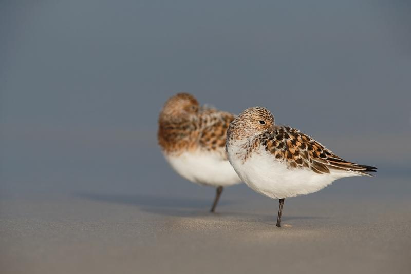 sanderlings-molting-to-breeding-plumage-sleeping-_q8r7456-nickerson-beach-park-lido-beach-ny