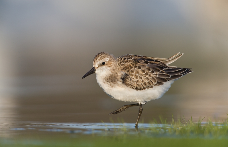 semipalmated-sandpiper-juvenal-with-leg-rasied-_q8r0535-east-pond-jamaica-bay-wildlife-refuge-queens-ny