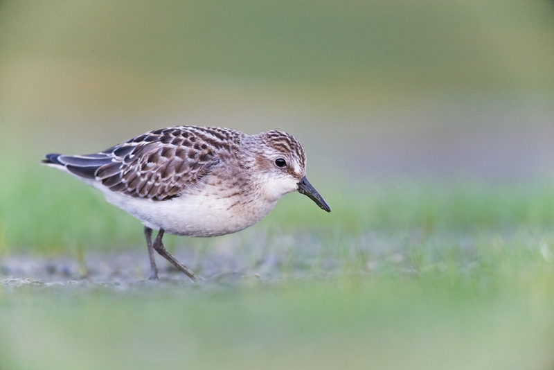 semipalmated-sandpiper-juvenile-iso-10000-_q8r0708-east-pond-jamaica-bay-wildlife-refuge-queens-ny