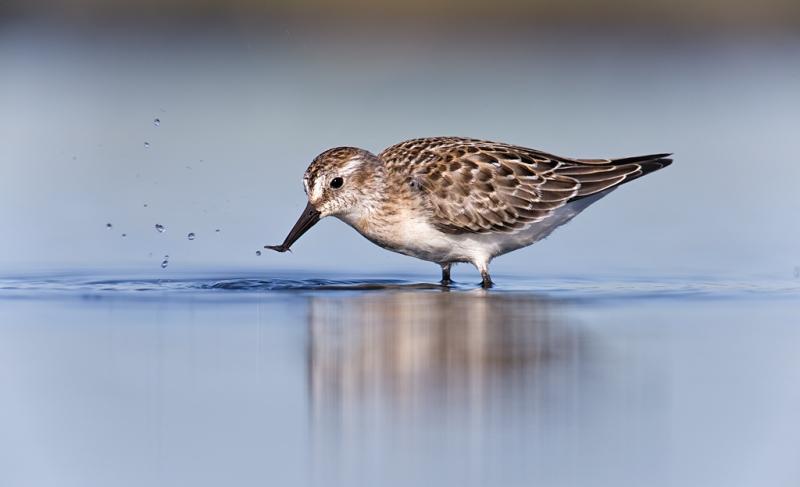 semipalmated-sandpiper-juvenile-with-invertebrate-prey-item-_q8r1414-hecksher-state-park-long-island-ny