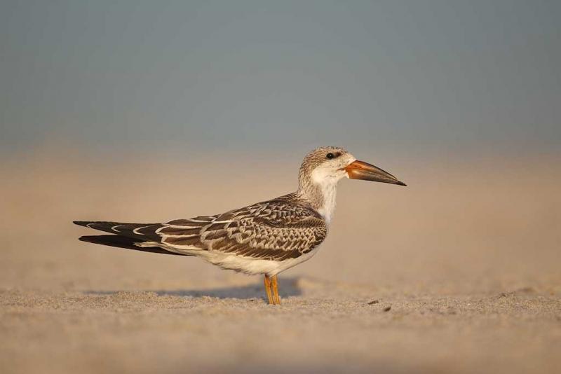 w3c7258-nickerson-beach-long-island-ny
