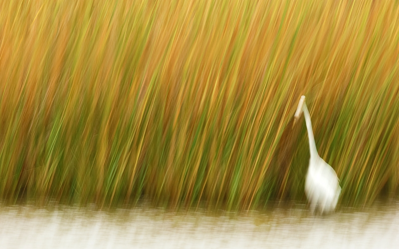 great-egret-reeds-blur-this-one