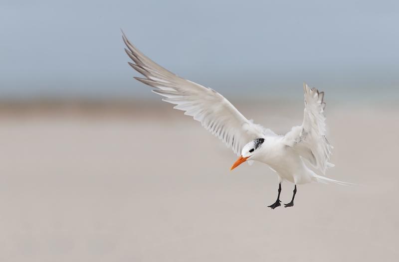 royal-tern-landing-bands-removed-_q8r4696-fort-desoto-park-st-petersburg-fl