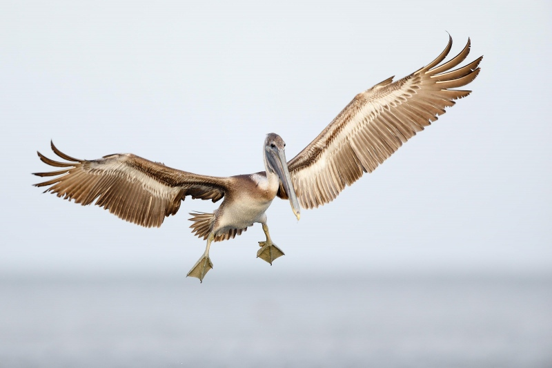 Brown-Pelican-3200-imm-landing-from-small-RAW-_W5A7785-Fort-DeSoto-Park-FL