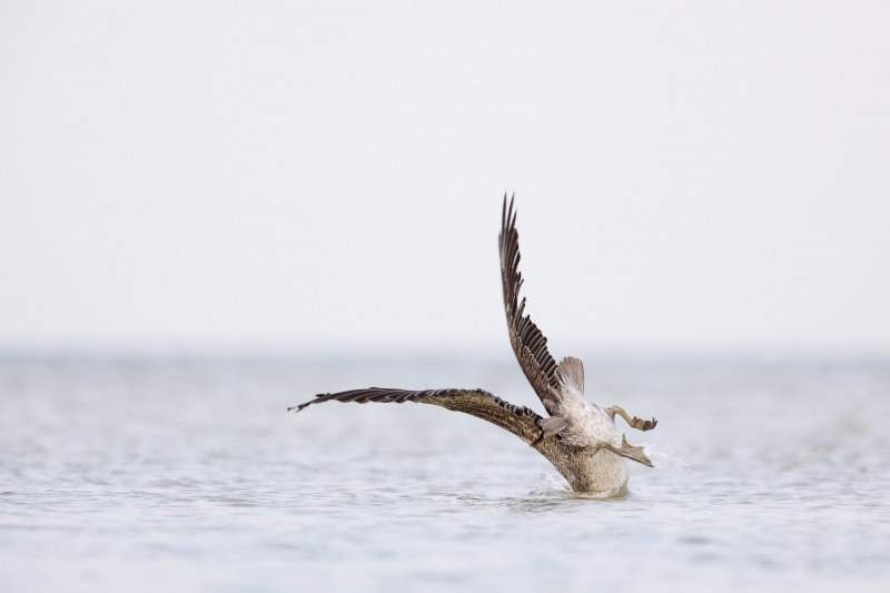 Brown-Pelican-3200-juvenile-hitting-the-water-after-dive-_W5A6568-Fort-DeSoto-Park-FL
