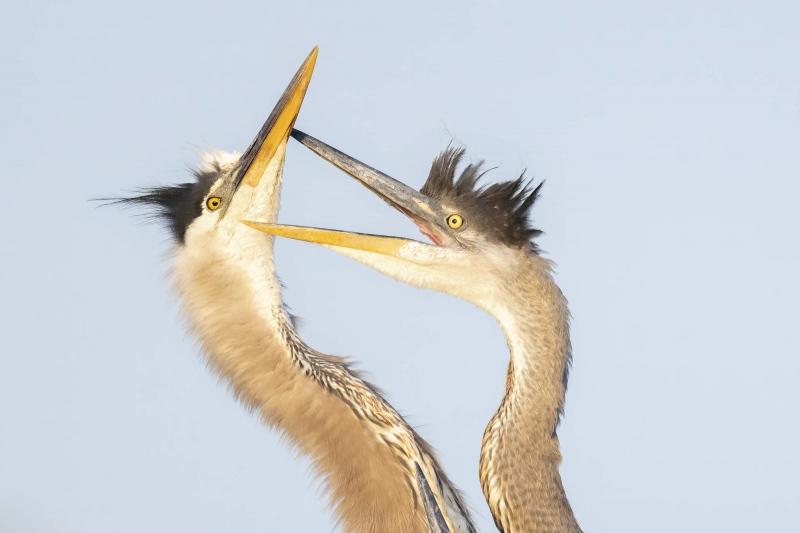 Great-Blue-Heron-3200-BLOG-large-chick-begging-_A1A4784-Brandon-Rookery-FL-2-standard-scale-2_00x-gigapixel