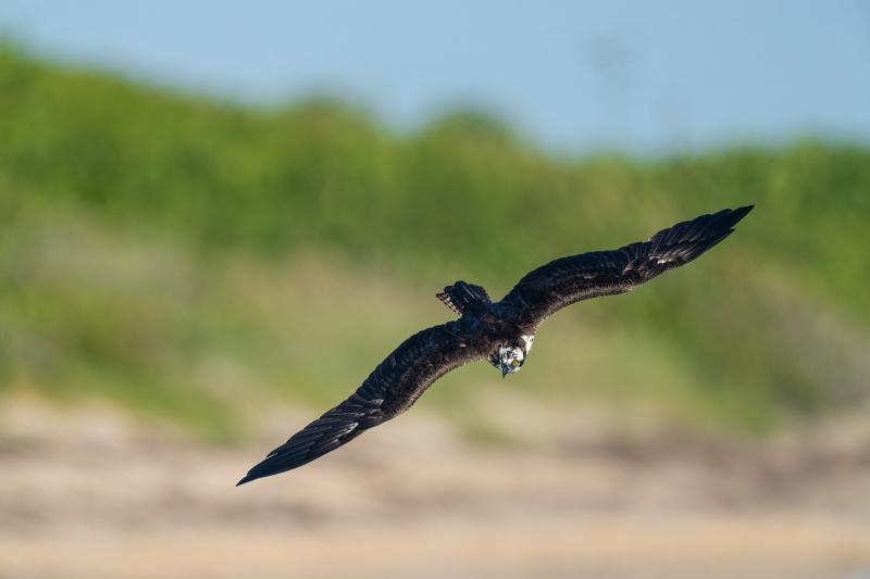Osprey-beginning-of-dive-dorsal-view-_A1B2336-Sebastian-Inlet-FL