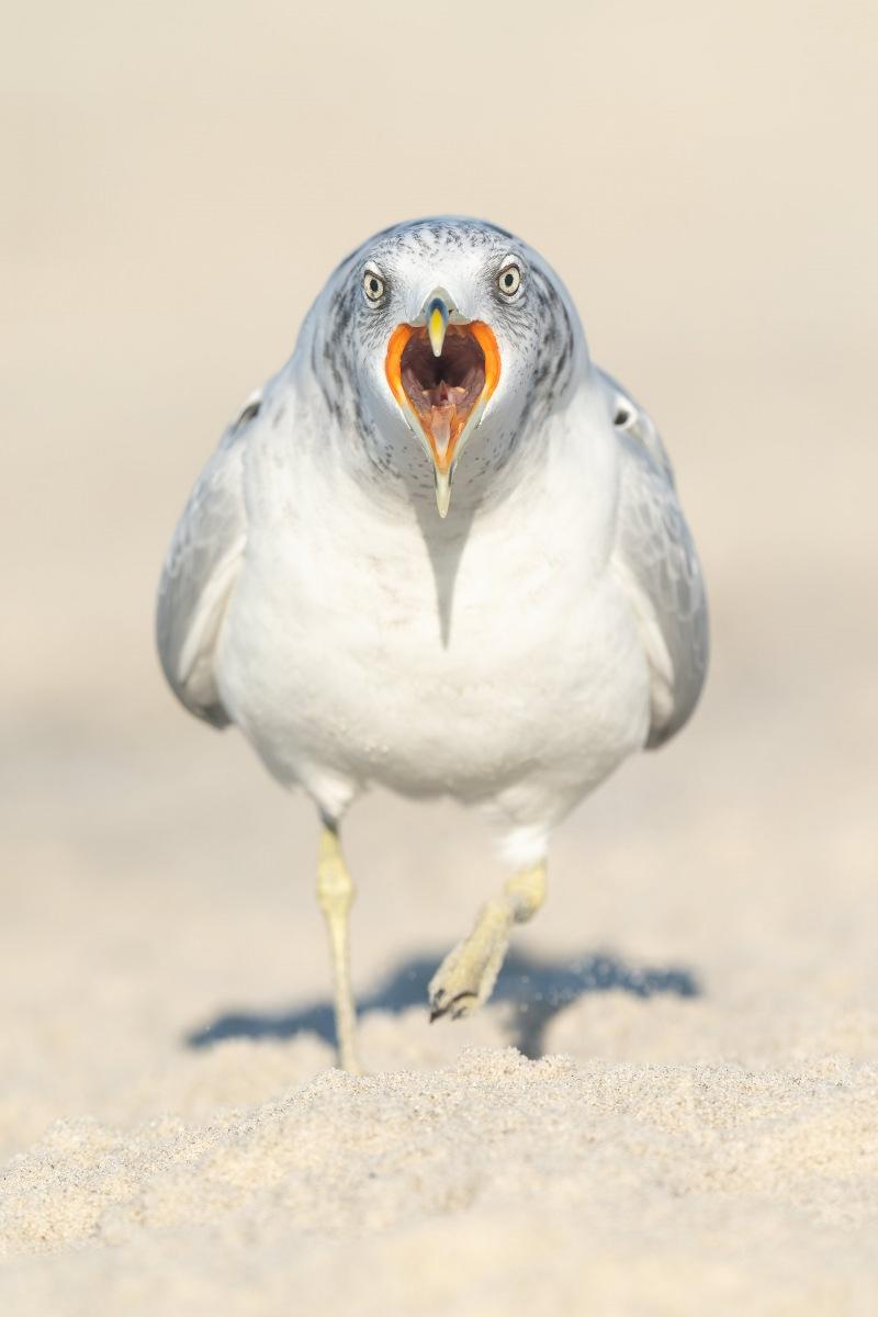 Ring-billed-Gull-3200-BLOG-calling-VERT-_A1B3407-Nickerson-Beach-LI-NY