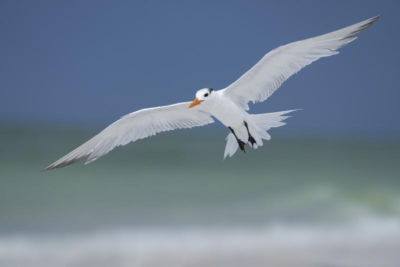 Royl-Tern-3200-ready-to-land-_A1B7173-Fort-DeSoto-Park-FL