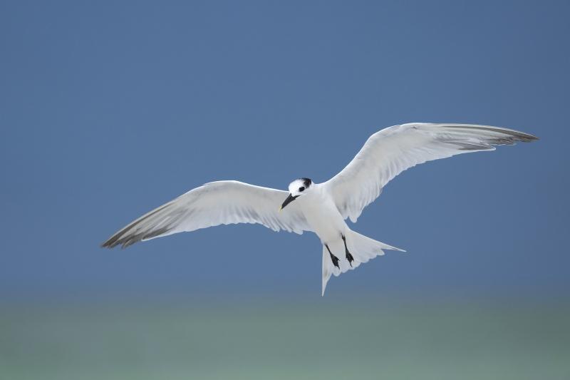 Sandwhich-Tern-3200-ready-to-land-_A1B7457-Fort-DeSoto-Park-FL